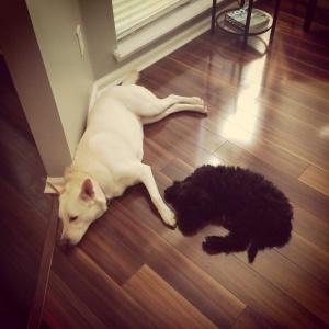 Oliver-emmie-goldendoodle-puppy